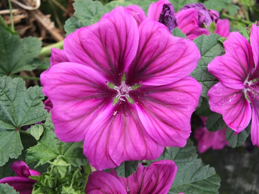 Blaue Malve - essbare Blüten