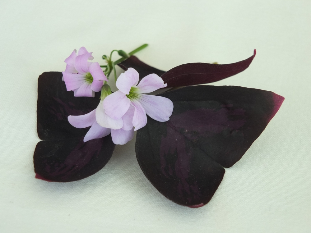 Brasilianischer Sauerklee - essbare Blüten