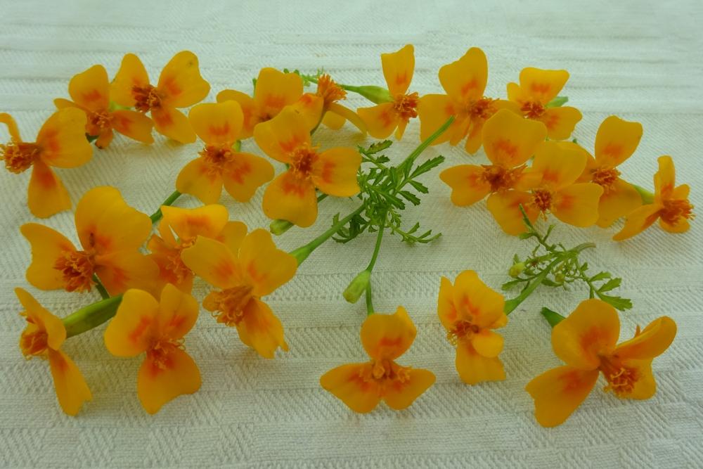 Gewürztagetes-essbare-Blüten