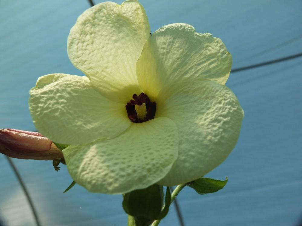 Moschusmalve Aibika - essbare Blüten
