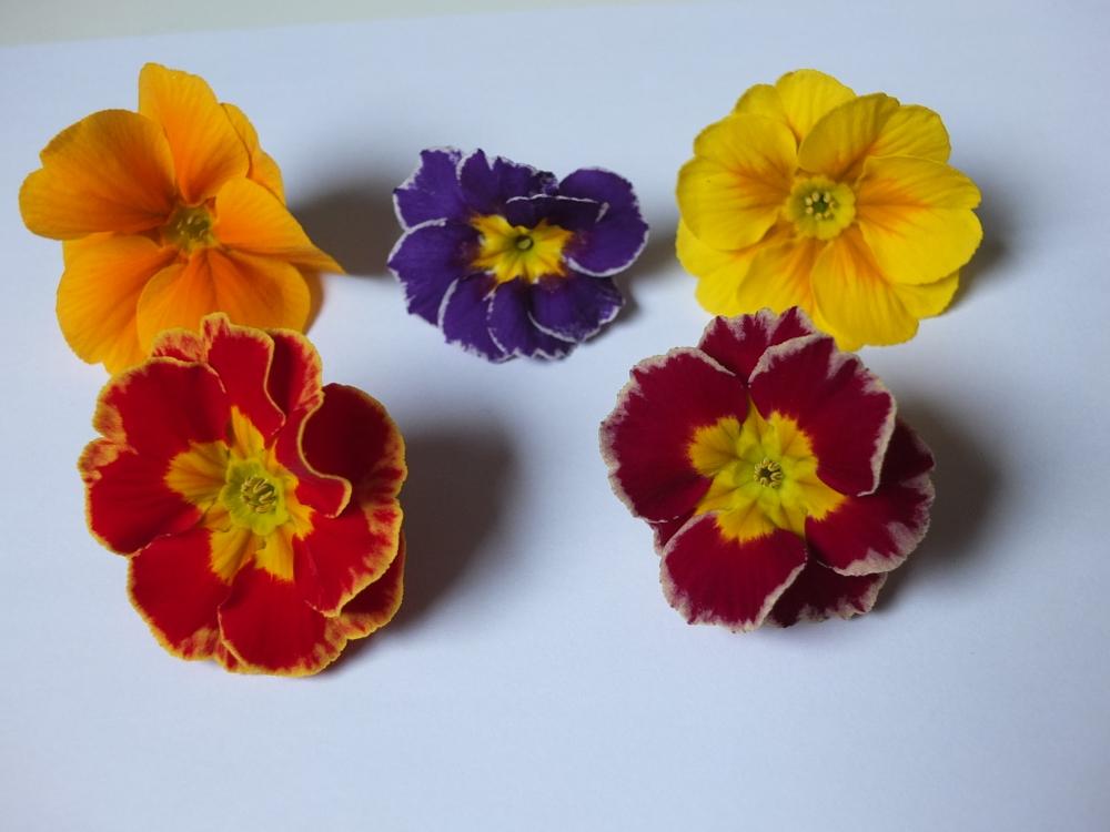 Primel - essbare Blüten