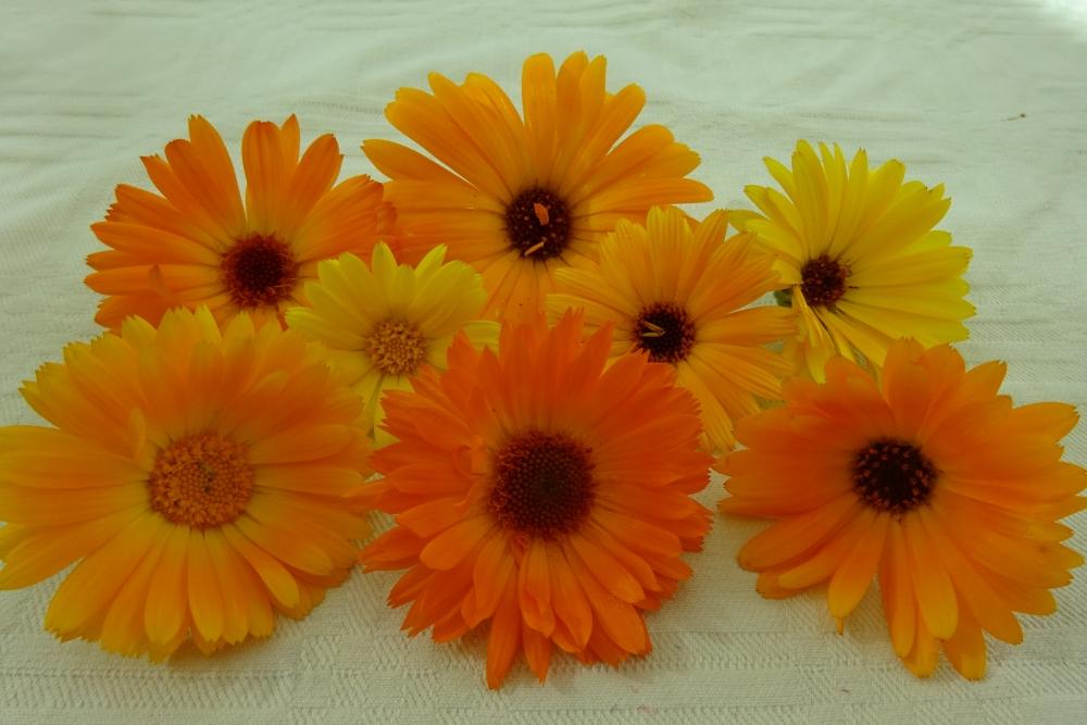 Ringelblume-essbare-Blüten