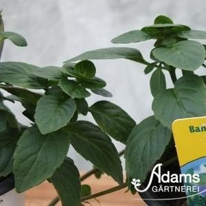 Bananen-Minze / Mentha arvensis