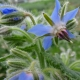 Borretsch / Borago officinalis