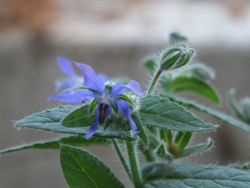 Borretsch - essbare Blüten