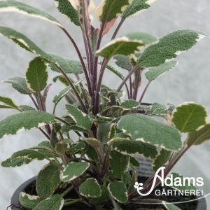 Bunt-Salbei / Salvia officinalis