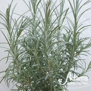 Currykraut / Helichrysum italicum