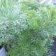 Eberraute / Artemisia abrotanum