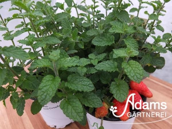 Erdbeer-Minze / Mentha species