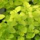 Gold-Oregano / Origanum vulgare