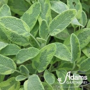 Gold-Salbei / Salvia officinalis