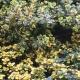 Gold-Thymian / Thymus citriodorus