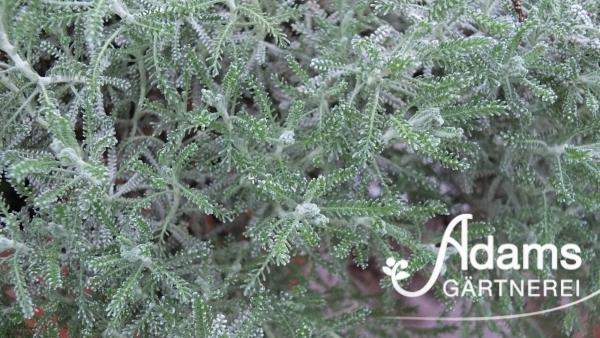 Heiligenkraut / Santolina chamaecyparissus