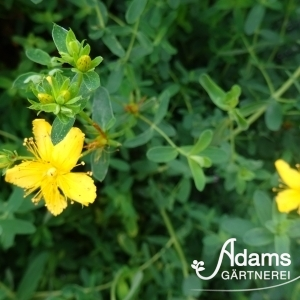 Johanniskraut / Hypericum calicynum