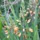 Katzenschwanzpflanze / Bulbine frutescens