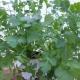 Koriander / Coriandrum sativum