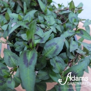 Vietnamesicher Koriander / Persicaria odorata