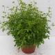 Kraut der Unsterblichkeit / Gynostemma pentaphyllum