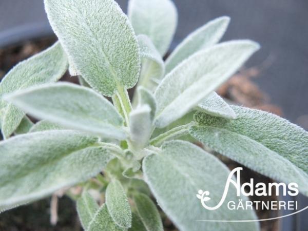 Marzipan-Salbei / Salvia officinalis Hybr. Narzareth