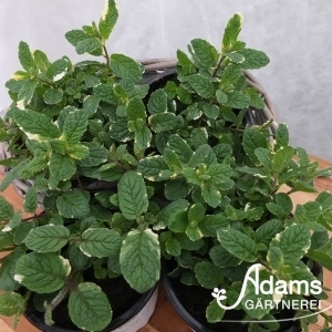 Ananas-Minze / Mentha suaveolens 'variegata'