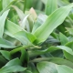 Peking-Gras / Murdannia loriformis