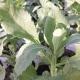 Räucher-Salbei / Salvia Apiana