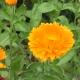 Ringelblume / Calendula officinalis
