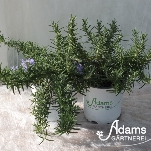 Häng. Rosmarin / Rosmarinus officinalis