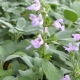 Salbei / Salvia officinalis