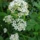 Schnittknoblauch / Allium tuberosum