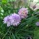 Schnittlauch / Allium schoenoprasum
