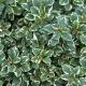 Silber-Thymian / Thymus citriodorus