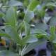 Süßkraut / Stevia rebaudiana