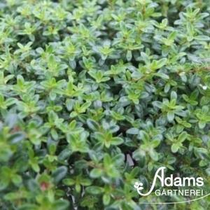 Teppich-Thymian / Thymus praecox `Creeping Red