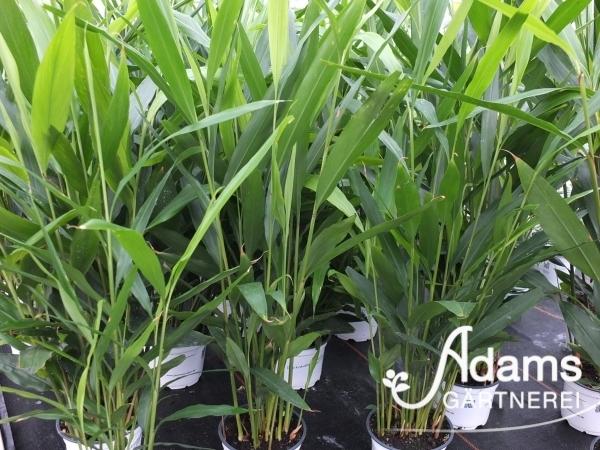 Thai-Ingwer / Alpinia galanga
