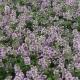 Thymian / Thymus vulgaris