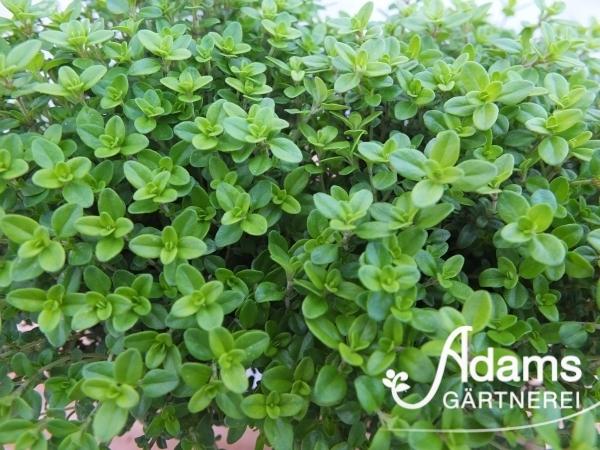 Zitronen-Thymian / Thymus citriodorus 'Goldy'