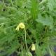 Wilde Rauke / Diplotaxis tenuifolia