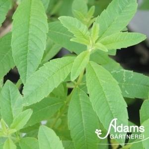 Zitronenverbene / Lippia citrodorus / Aloysia citrodora