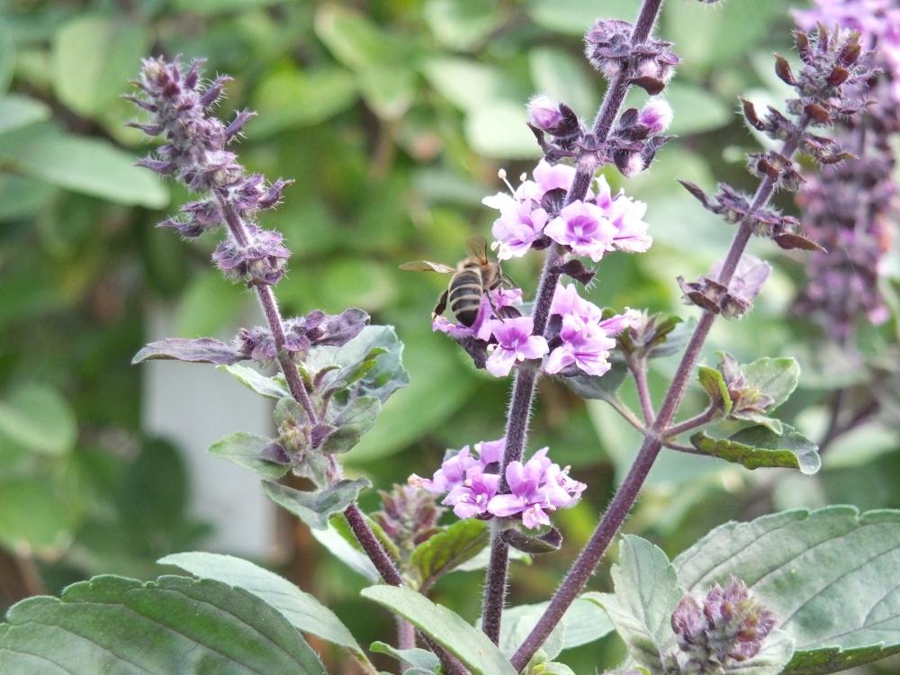 Strauchbasilikum - essbare Blüten