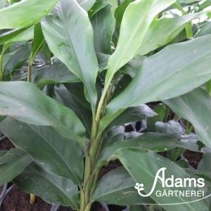 Kardamom / Elettaria cardamomum