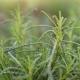 Olivenkraut / Santolina viridis