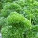 Petersilie Mooskrause / Petroselinum crispum