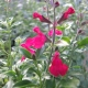Pfirsich-Salbei / Salvia greggii 'Peach'