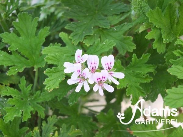Zitronenduftpelargonie / Pelargonium citriodorum