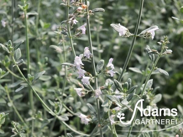 Arabisches Bergkraut / Micromeria fruticosa