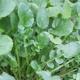 Barbarakraut / Barbarea vulgaris
