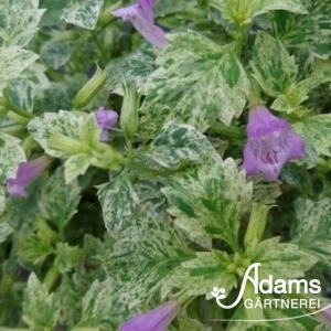 Gartenbergminze / Calamintha grandiflora Variegata