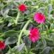 Eiskraut / Aptenia cordifolia