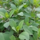 Koriander - Bolivianischer / Porophyllum ruderale